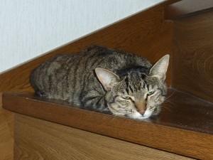 愛猫うずらのお昼寝